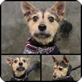 Yorkie, Yorkshire Terrier/Terrier (Unknown Type, Small) Mix Dog for adoption in North Brunswick, New Jersey - Columbus