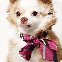 Adopt A Pet :: Dominique - New York, NY