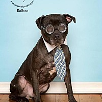 Adopt A Pet :: Sweet Balboa - Voorhees, NJ