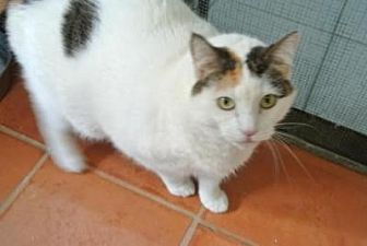 Domestic Shorthair Cat for adoption in Sebastian, Florida - Molly