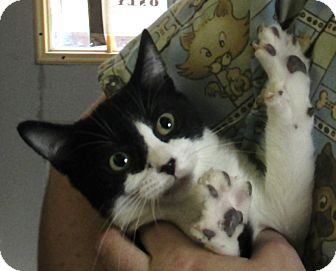Domestic Shorthair Kitten for adoption in Reeds Spring, Missouri - Dale