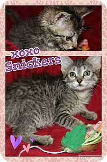 Domestic Shorthair Kitten for adoption in Wichita, Kansas - Snickers