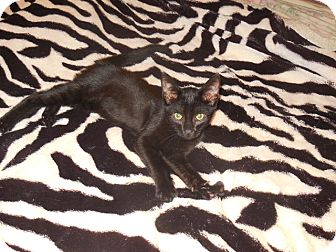 Bombay Kitten for adoption in Old Town, Florida - Panther