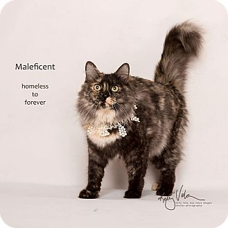 Maine Coon Cat for adoption in Sherman Oaks, California - Maleficent
