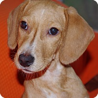 Adopt A Pet :: Ruby Toos - Vidor, TX