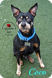 Miniature Pinscher Mix Dog for adoption in Youngwood, Pennsylvania - Coco