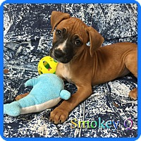 Adopt A Pet :: Smokey Q. - Hollywood, FL