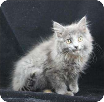 Domestic Mediumhair Kitten for adoption in Farmington, Michigan - Dee & her Kitten