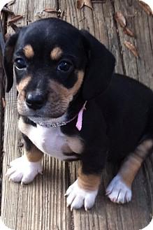 Basset Hound/Fox Terrier (Wirehaired) Mix Puppy for adoption in Manchester, Connecticut - Flower - ADOPTION PENDING