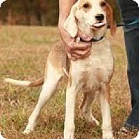 Adopt A Pet :: Gatsby ($300) - Brattleboro, VT
