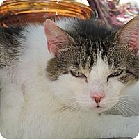 Adopt A Pet :: Shira - Plattekill, NY