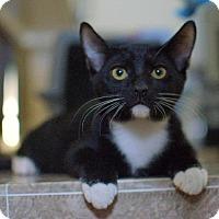 Adopt A Pet :: Socks - Chandler, AZ