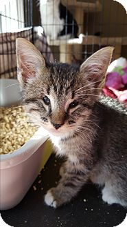 Domestic Shorthair Kitten for adoption in Berkeley Hts, New Jersey - Lacey