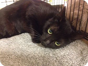American Bobtail Cat for adoption in College Station, Texas - Oprah