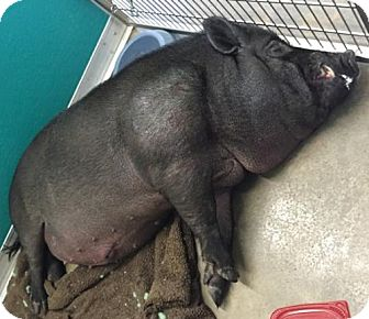 Pig (Potbellied) for adoption in Winchester, Tennessee - Hickory