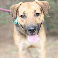 Shepherd (Unknown Type)/Labrador Retriever Mix Dog for adoption in Canoga Park, California - Bugsy