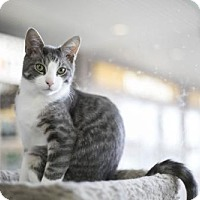 Adopt A Pet :: Zazu (Bonded to Mufassa) - Richmond Hill, ON