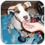 Photo 3 - American Pit Bull Terrier/Bull Terrier Mix Dog for adoption in Burbank, California - Maxine - PLS READ STORY