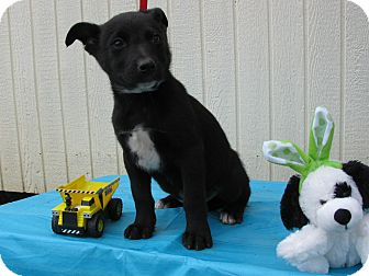 Feist/Australian Cattle Dog Mix Puppy for adoption in Humboldt, Tennessee - Picasso
