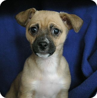 Chihuahua Mix Puppy for adoption in Sacramento, California - Khloe