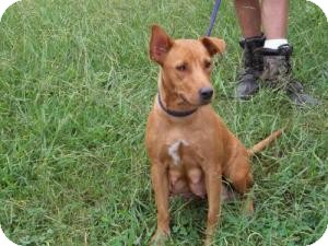 Carolina Dog/Feist Mix Dog for adoption in Gaffney, South Carolina - Roo