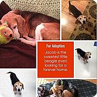 Adopt A Pet :: Jacob - Alexandria, VA