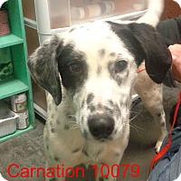Adopt A Pet :: Carnation - Greencastle, NC