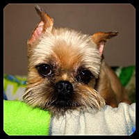Brussels Griffon Dog for adoption in Seymour, Missouri - RHETT in Rogers, AR.