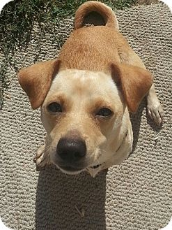 Dachshund/Chihuahua Mix Dog for adoption in Los Angeles, California - Harley Quinn