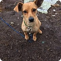 Dachshund Mix Dog for adoption in Saddle Brook, New Jersey - Pixie