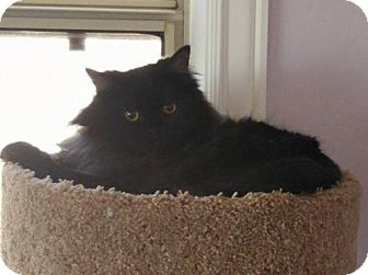 Persian Cat for adoption in Chandler, Arizona - Cy