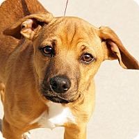 Adopt A Pet :: Brock - Maynardville, TN