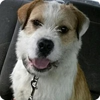 Adopt A Pet :: Vinny - Adorable Terrier Mix - Seattle, WA