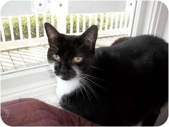 Domestic Shorthair Cat for adoption in Chesapeake, Virginia - Slurpee