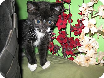Domestic Shorthair Kitten for adoption in Clearfield, Utah - Clementine