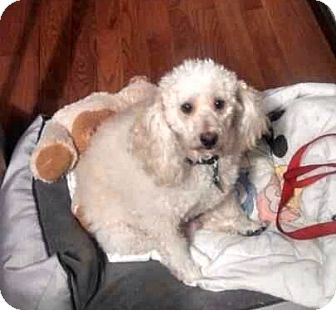 Poodle (Standard) Mix Dog for adoption in McKeesport, Pennsylvania - Toby