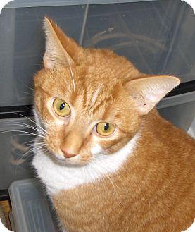 Domestic Shorthair Cat for adoption in Richmond, Virginia - Mellow