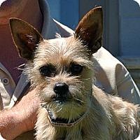 Adopt A Pet :: Suki - white settlment, TX