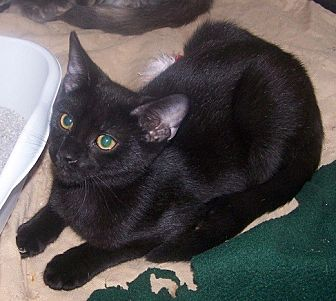 Domestic Shorthair Cat for adoption in Concord, North Carolina - Cinder
