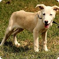Adopt A Pet :: Cora - Brattleboro, VT