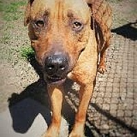 Adopt A Pet :: MARLEY - Little Rock, AR
