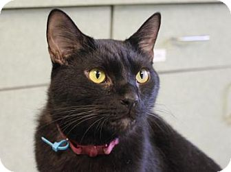 Domestic Shorthair Cat for adoption in Indianapolis, Indiana - Sammy