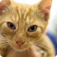 Domestic Shorthair Cat for adoption in Harrisonburg, Virginia - Pumpkin