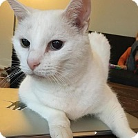 Adopt A Pet :: Princess Snow - URGENT! - Herndon, VA