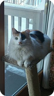 Domestic Longhair Cat for adoption in Manasquan, New Jersey - Long Hair Calico female cat