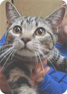 Domestic Shorthair Kitten for adoption in Pulaski, Tennessee - Wheaties