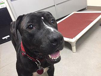 American Staffordshire Terrier/Labrador Retriever Mix Dog for adoption in Avon, Ohio - Noshi