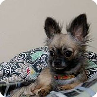 Chihuahua Dog for adoption in Wyoming, Michigan - Momma Fifi