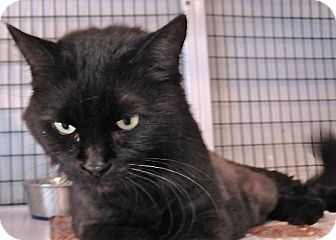Domestic Longhair Cat for adoption in Deerfield Beach, Florida - Samantha