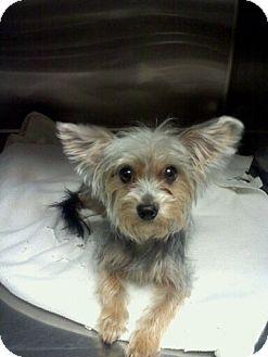 Yorkie, Yorkshire Terrier Dog for adoption in Hazard, Kentucky - Pixie